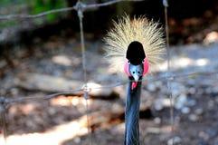 Bird, Crowned crane facing camera Stock Photography