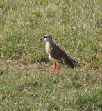 Bird Crowned lapwing. A Crowned lapwing on the savanna in Kenya Stock Photo