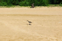 Bird Curlew Royalty Free Stock Photos