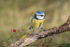 Bird Cyanistes caeruleus in wildlife Royalty Free Stock Photography