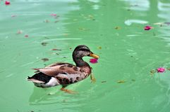 Bird: Dabbling duck swimming Stock Images