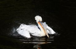 Bird Dalmatian Pelican white matter floating on the dark lake sp. Raying water drops with feathers in the Park stock photos