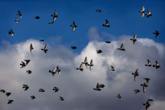 Bird dance. Flock of pigeons dancing on the afternoon sky Royalty Free Stock Photo