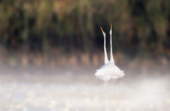 Bird dance in misty morning royalty free stock images
