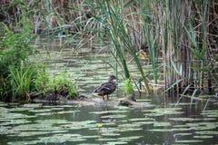 Bird in the river. Bird in the Danube river Royalty Free Stock Photo