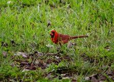 Bird Day cardinal Foto de archivo