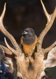 A Bird & a Dear. A Rofous Tree Pie bird sitting on spotted dear`s head stock photos