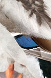 Bird detail mallard feathers Royalty Free Stock Photo