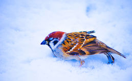 Bird died frozen Royalty Free Stock Images