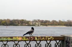 A bird by the Dnieper River. Black raven at the river of the Dnieper in the cold spring Royalty Free Stock Photography