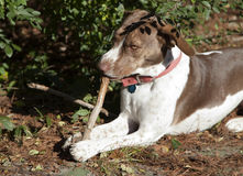 Bird Dog Chewing Stick. Outside stock photo