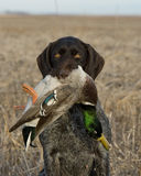 Bird Dog. A bird dog with a drake Mallard in a grain field Stock Photo