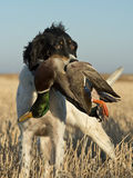 Bird Dog. A bird dog with a drake Mallard in a grain field Stock Photos