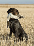 Bird Dog. A bird dog with a drake Pintial in a grain field Royalty Free Stock Photo