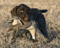 Bird dog with a duck. A Hunting Dog with a Drake Pintail in prairie grasses Stock Photos