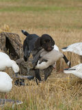 Bird dog with a goose Stock Photos