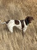 Bird dog in his natural habitat. Bird dog, German shorthaired pointer royalty free stock image