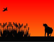 Bird dog hunting at sunset silhouette. Labrador retreiver scaring out a duck from the bull rushes Royalty Free Stock Photo