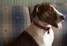Bird Dog Indoors. Bird dog sitting indoors on couch royalty free stock photography