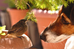 Bird and dog. Little bird and dog. Macro detail of Phoenicurus ochruros from Muscicapidae family and Smooth Fox Terrier royalty free stock photography