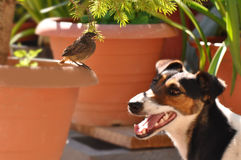 Bird and dog. Little bird and dog. Macro detail of Phoenicurus ochruros from Muscicapidae family and Smooth Fox Terrier stock photo