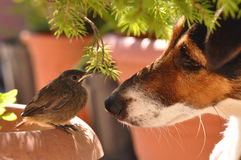 Bird and dog. Little bird and dog. Macro detail of Phoenicurus ochruros from Muscicapidae family and Smooth Fox Terrier stock image