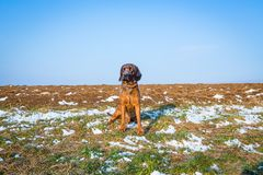 Bird dog sits on a snowy field. Bird dog outdoors on a hunt royalty free stock image