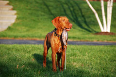 Bird Dog in Training. Vizsla Bird Dog in Training with Training Dummy Royalty Free Stock Image