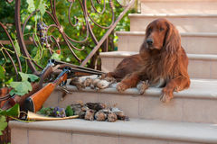 Bird dog and trophies. Bird hunting dog lying on a ladder near two shotguns and birds royalty free stock photography