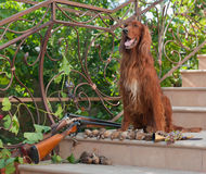 Bird dog and trophies. Bird hunting dog sitting on a ladder near two shotguns and birds royalty free stock image