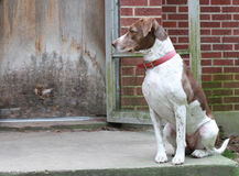 Bird Dog Waiting by the Backdoor. Bird dog waiting to go inside royalty free stock photo