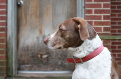 Bird Dog Waiting by the Backdoor. Bird dog waiting to go inside stock photography