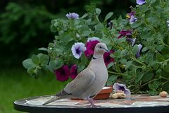Bird, Dove, Collared Royalty Free Stock Images