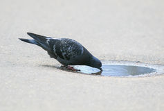 Bird dove funny stands and drinks water from a small puddle Stock Photos