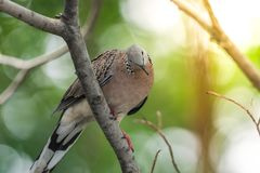 Bird (Dove, Pigeon or Disambiguation) in a nature. Bird (Dove, Pigeon or Disambiguation) Pigeons and doves perched on a tree in a nature wild royalty free stock photography