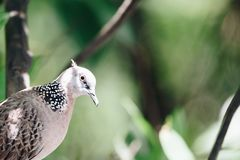 Bird (Dove, Pigeon or Disambiguation) in a nature. Bird (Dove, Pigeon or Disambiguation) Pigeons and doves perched on a tree in a nature wild royalty free stock photos