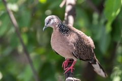 Bird (Dove, Pigeon or Disambiguation) in a nature. Bird (Dove, Pigeon or Disambiguation) Pigeons and doves perched on a tree in a nature wild stock photos