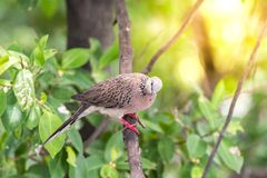 Bird (Dove, Pigeon or Disambiguation) in a nature. Bird (Dove, Pigeon or Disambiguation) Pigeons and doves perched on a tree in a nature wild stock image