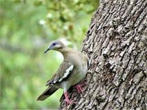 Bird, Dove, Tree, Wildlife Royalty Free Stock Photo