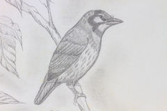 Bird drawing. The original drawing of birds on white paper Stock Photos