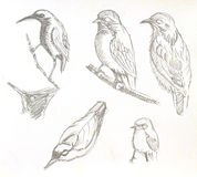 Bird drawing. The original drawing of birds on white paper Stock Photography