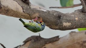 Bird drilling the wood hollow for new nest. Coppersmith barbet Bird Megalaima haemacephala drilling the wood hollow for new nest in tropical rain forest stock footage