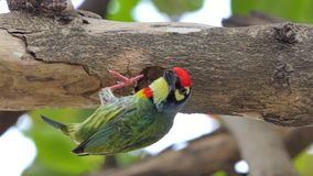 Bird drilling the wood hollow for new nest. Coppersmith barbet Bird Megalaima haemacephala drilling the wood hollow for new nest in tropical rain forest stock video footage