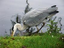 Bird drinking Stock Image