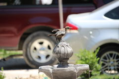 Bird drinking at a fountain Royalty Free Stock Photography