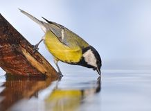Bird drinking water. Royalty Free Stock Photos