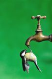 Bird drinking water. Royalty Free Stock Photography