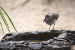 Bird drinking water from artificial rock. Stock Photo