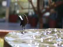 Bird drinking water Royalty Free Stock Images