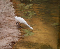 Bird. Drinking water in a lake Royalty Free Stock Image